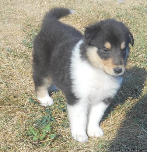 AKC Collie puppies--ready to go! - Price: 550