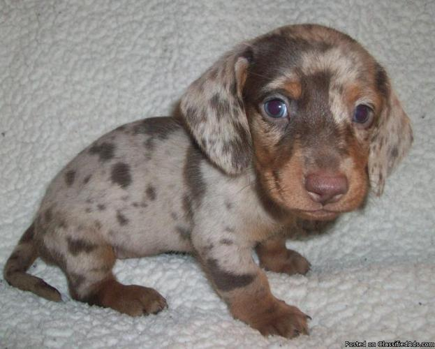 AKC Dachshunds Puppies in El Campo, Texas   CannonAds com