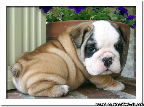 AKC English Bulldog Puppies. Text: (305) 787-2141
