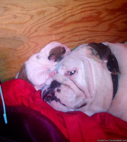 AKC English Bulldog Puppy