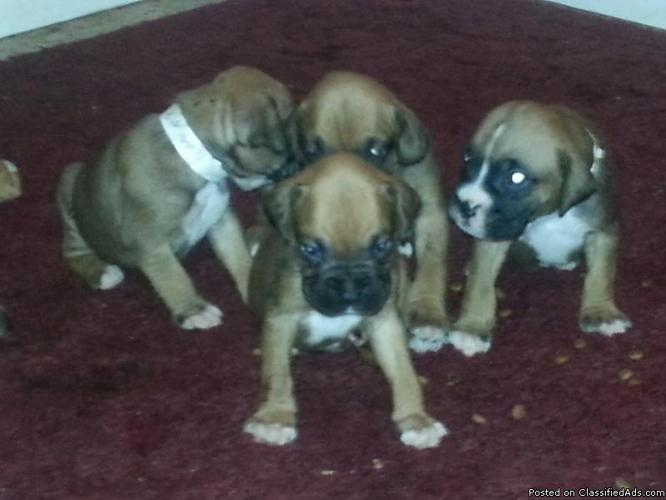AKC fancy fawn boxer puppies  in Mulberry, Florida