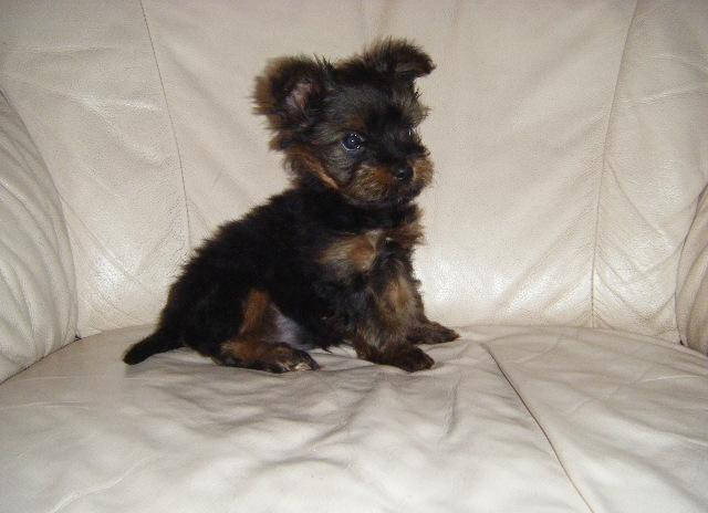 Akc Female Yorkie Puppy In Saint Cloud Florida Cannonadscom