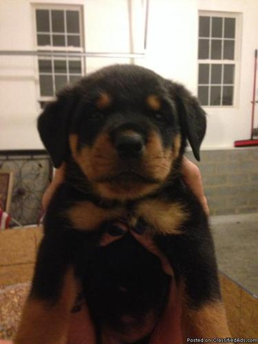 Akc German Rottweiler Puppies In Richmond Virginia Cannonadscom