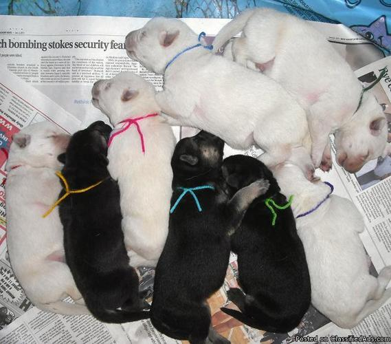 AKC GERMAN SHEPHERD PUPPIES ~OVERSIZE~ *Solid White* *Black/Silver