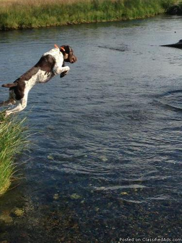 AKC German Shorthaired Pointers Due end Dec 2013