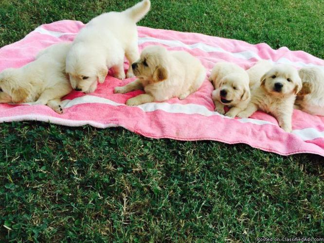 AKC Golden Retriever Puppies in Pittsburgh, Pennsylvania | CannonAds com