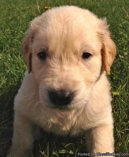 Akc Golden Retriever Puppies Price 60000 To 65000 In Lapeer