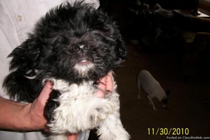 AKC Havanese Puppies - Price: 700 00 in Medina, Minnesota