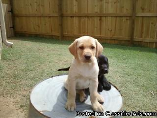 Akc Lab Puppies Only 1 Left Price 15000 In Perkins Georgia
