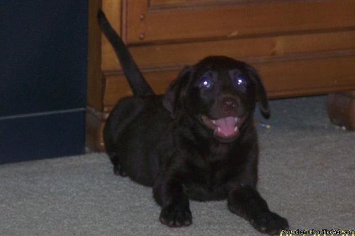 AKC Labrador Retriever Puppies - Price: 300.00