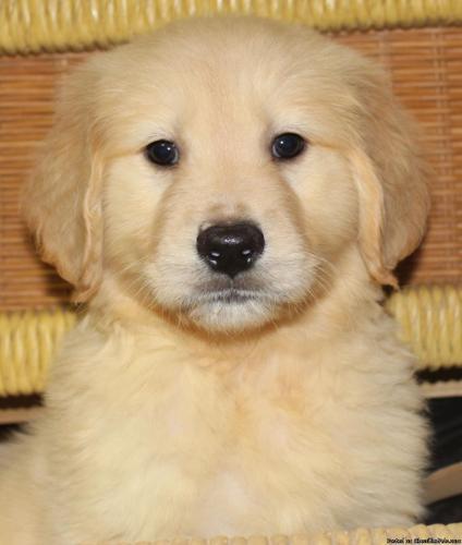 AKC male Golden Retriever Puppies