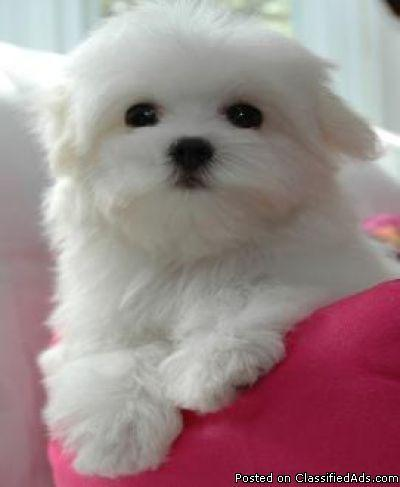 Maltese Puppies For Sale Middle Tennessee