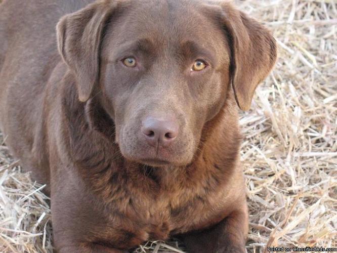 AKC Master And Junior Hunter Labrador Retriever Puppies, Upcoming Litter!