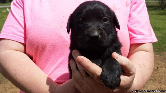 AKC Master Hunter And Junior Hunter Labrador Retriever Puppies!!!