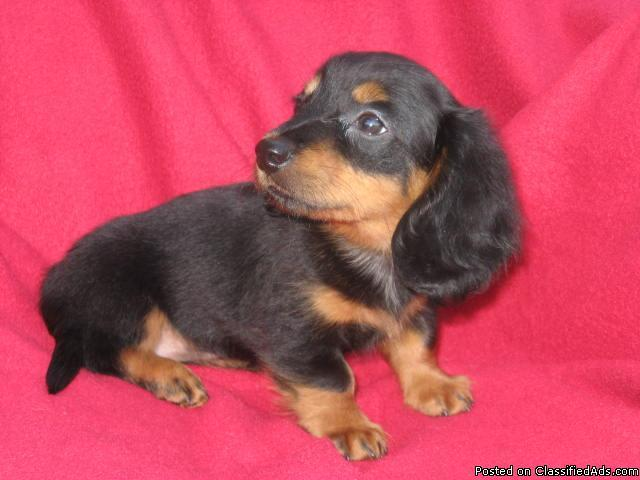 AKC Miniature Dachshund puppies for sale - Price: 300 & up