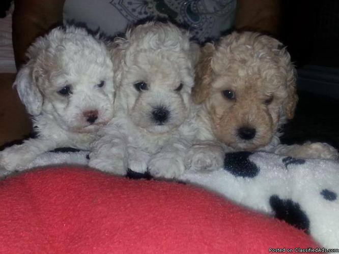 Akc Poodle puppies