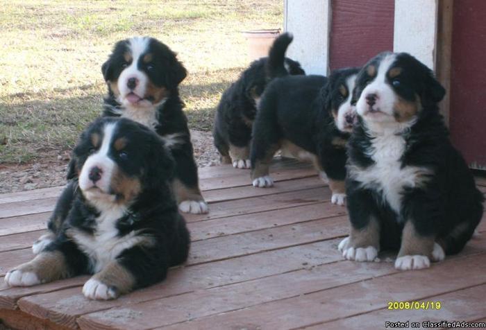 Akc Reg Bernese Mountain Dogs Puppies Price 80000 In