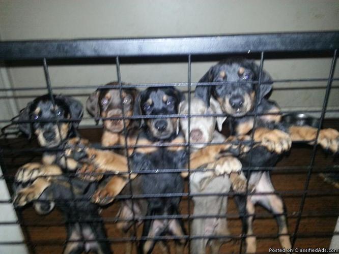 AKC registered Doberman Pinscher puppies 8 weeks old