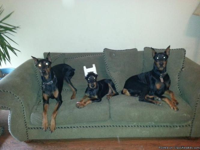 AKC registered Doberman Pinscher puppies 8 weeks old in