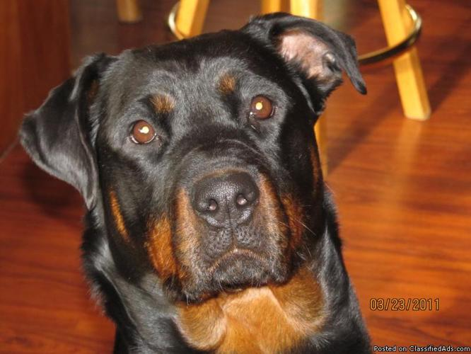 Akc Registered Rottweiler Puppies Price 500 In Priest River