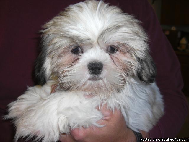 AKC Registered Shih-Tzu Puppy for Sale - Price: $350
