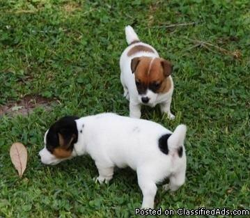 AKC Registration Short Leggs and Short Hair Jack Russel puppies in search of new homes