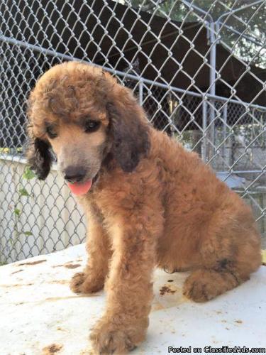 AKC Sable standard poodle puppies