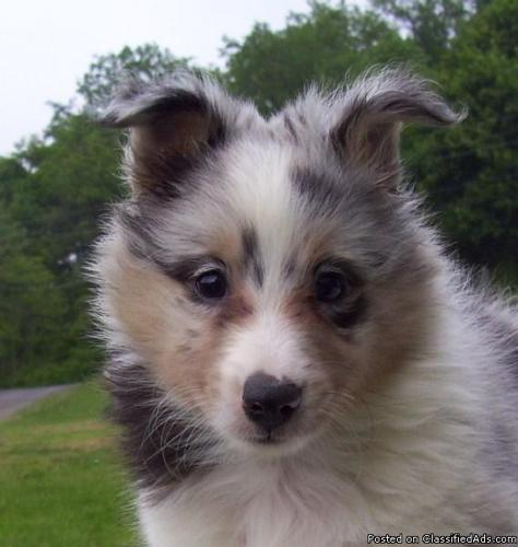 AKC Sheltie Blue Merle Puppies Ready Now!! - Price: 600 00
