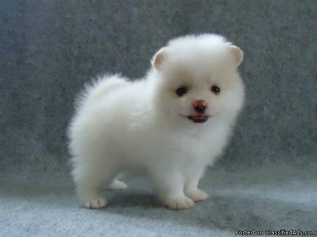 AKC Teacup size Pomeranian Puppies in Cleveland, Ohio   CannonAds com