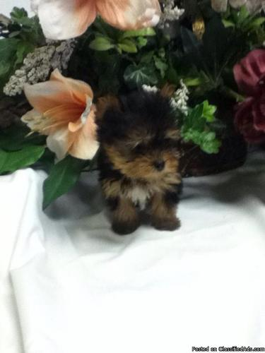 Akc teacup teddy bear face yorkies