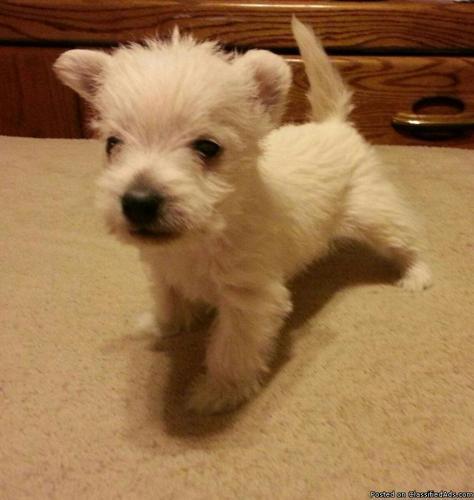 AKC West Highland White Terrier (Westie)