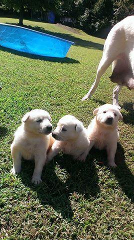 Akc White German Shepherd Puppies In Beulah Kentucky Cannonadscom