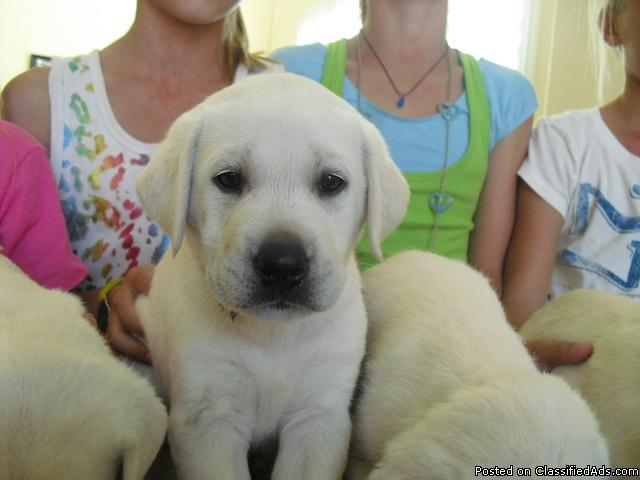 AKC White Labrador Puppies in Carlsbad, California | CannonAds com