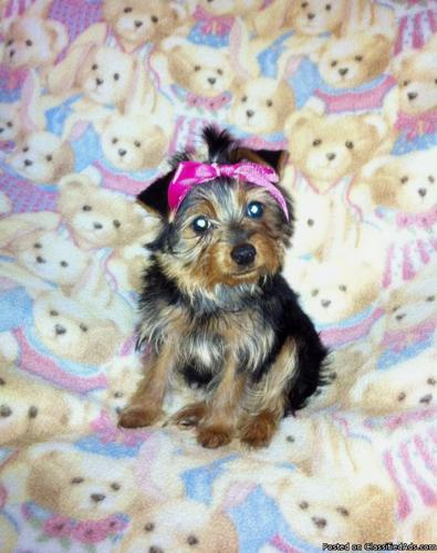 Akc Yorkshire Terrier Purbred Teacup Yorkie In Bend Oregon