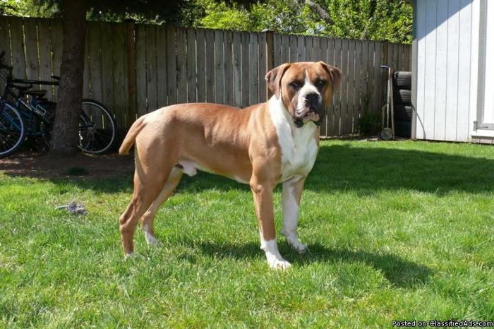 American bulldog boxer dogs need a good home price negotiable in