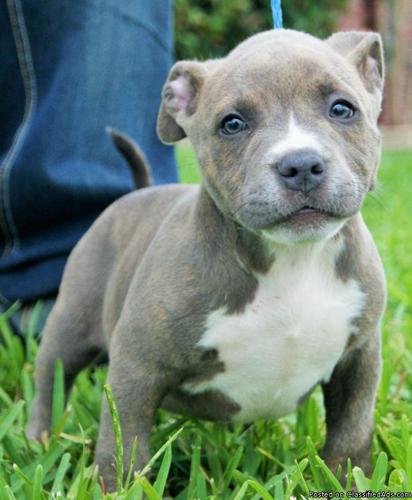 American bully pups