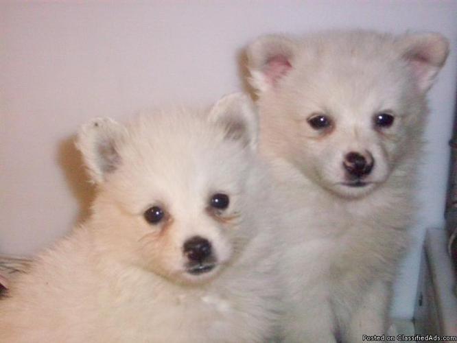 American Eskimo Puppy @Dans Kennels - Price: $350-$400.00