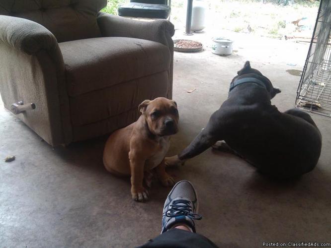 american pitbull ukc registered