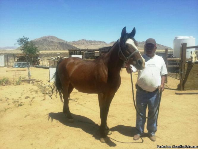Andalusian x Paint Pregnant Mare