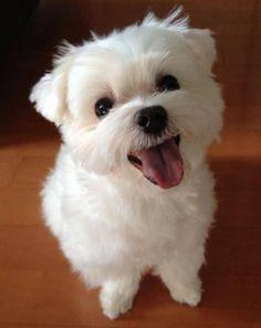 Attractive Maltese Puppies