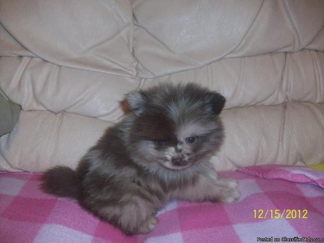 awesome rare chocolate merle pomeranian puppy - Price: 500 00 in