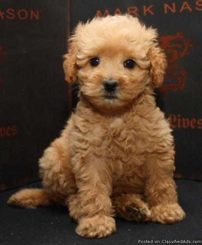 Awesome Teddy Bear Goldendoodle Puppies House Trained In