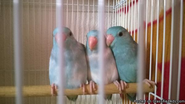 Baby Parrotlets / parrotlet for sale