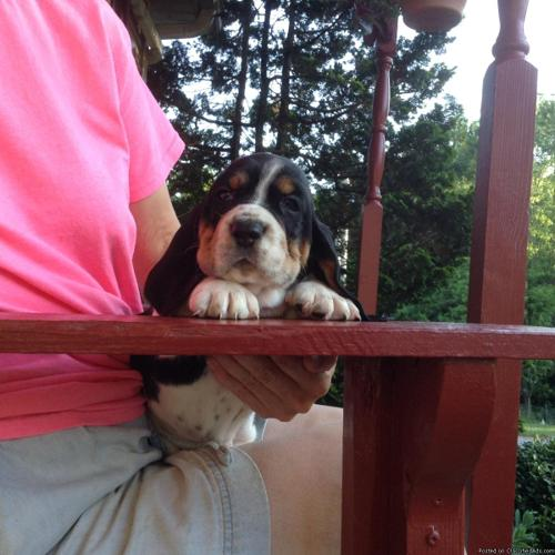 Basset Hound Puppies for Sale in Richmond, Kentucky | CannonAds com