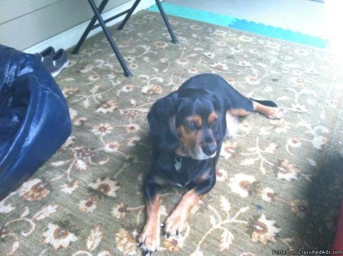 Beagle needs good home