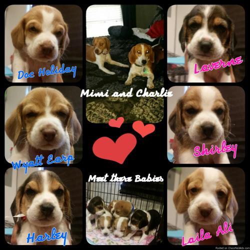 Beagle Puppies for sale in San Antonio, Texas | CannonAds com