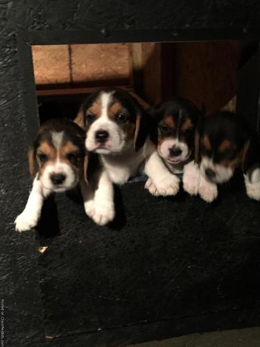 Beagles AKC