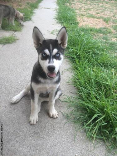 Beautiful 4 month old Siberian husky