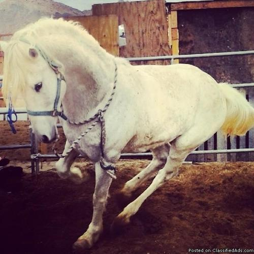 Beautiful 7yr. Old Azteca Stallion