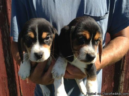 Beautiful Beagle Puppies For Sale In Chesterfield Michigan